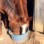 Two horses eating grain out of one bucket